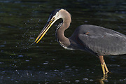 Stock photo of a great blue heron feeding. These birds feed by walking or standing very still, waiting for fish to swim near, then striking with a rapid thrust of the bill.