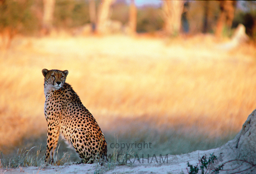 Cheetah at sunset sitting by termite mound  in Moremi National Park , Botswana