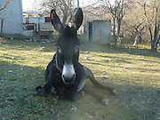 Donkey Duo Saved From Being Turned Into Sausages On Christmas<br /> <br /> When most people think of donkeys they immediately think of Donkey from the Shrek movies, an association which makes one smile because of the upbeat and optimistic character.<br /> The reality is unfortunately very different, as these animals are usually used only for one thing: carrying heavy loads. They live a sad life filled with hard work, whipping and other forms of abuse.<br /> Unfortunately, in some parts of the world, they are also sadly turned into meat for sausages – usually when they are no longer able to carry heavy loads. Bulgaria is one of the countries where this happens, and this Christmas, two donkeys were miraculously saved from being brutally slaughtered for their meat. They were saved thanks to a sanctuary for abused farm animals where two people work tirelessly to save animals from abuse and violent death and give the care and love they deserve.<br /> <br /> Photo shows: The good news is that the other donkeys and horses are happy to welcome their new friends<br /> ©Exclusivepix Media