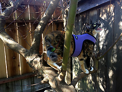 Zelda the cat prowls the back yard of her Oakland, Calif. home, Monday, Feb. 24, 2020. (Photo by D. Ross Cameron)