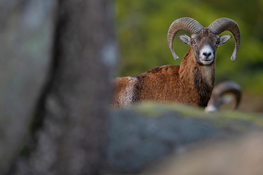 Mufflon sheep male, Ovis orientalis orientalis, or Ovis aries musimon, Eriksberg viltpark, Blekinge, Sweden. Captive conditions in a 5000 hectare enclosure