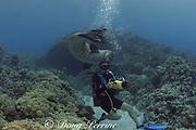 curious, friendly Hawaiian monk seal, Monachus schauinslandi, endemic species, critically endangered, investigates diver, Kealakekua Bay, Kona, Hawaii ( Big Island ), United States ( Central Pacific Ocean ) MR 312