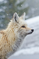 A red fox that was seen trotting through the snow about a third of the way up the Mount Rainier in Washington State. Even in May, this one still had most of it's winter coat.