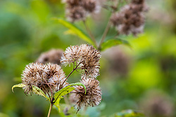 A variety of Joe Pye Weed at the end of summer and the beginning of autumn