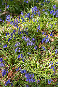 Bluebells, Hyacinthoides non-scripta, blooming in Springtime in The Cotswolds, Oxfordshire, UK