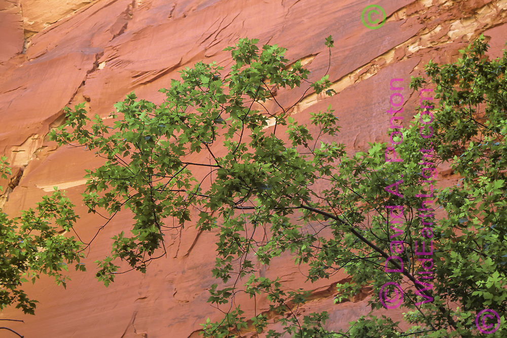 Branches of maple reach out at the base of a sheer sandstone cliff along the North Fork of the Virgin River, © David A. Ponton