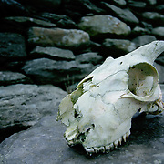 Sheep skull on rock, (none), Ireland (September 2007)