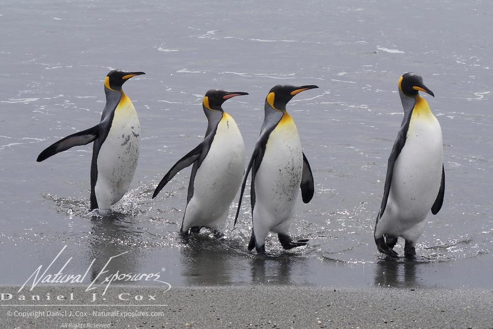 King Penguin, Salisbury Plain, South Georgia.