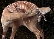 A Nyala gives birth at the Sacramento Zoo.