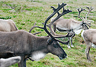 Reindeer herd on the hillside in Cairngorms national park, Scotland, UK (August 2015) © Rudolf Abraham