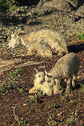 Twin Rocky Mountain Goat kids and adult female (Nanny) in habitat.