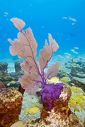 Sugar Wreck, the remains of an old sailing ship that grounded many years ago, encrusted with Sea Fan, Gorgonia sp., West End, Grand Bahamas, Caribbean, Atlantic Ocean
