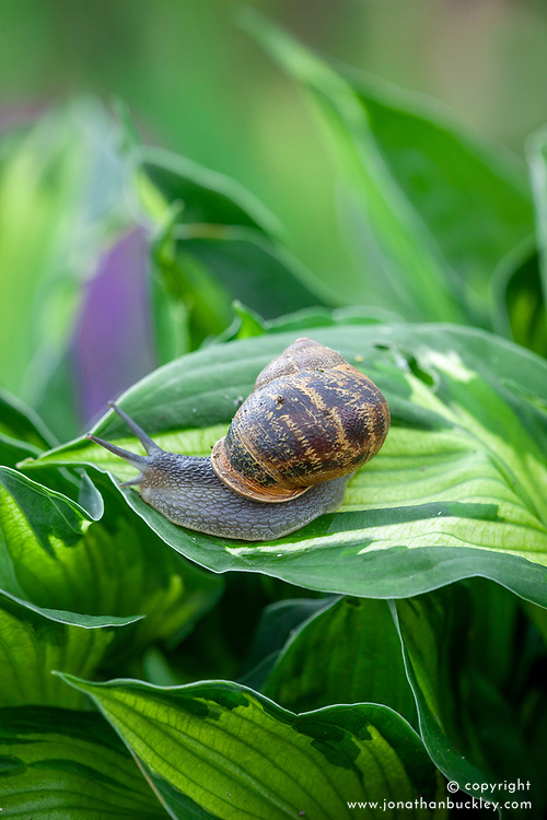 Snail on hosta leaf
