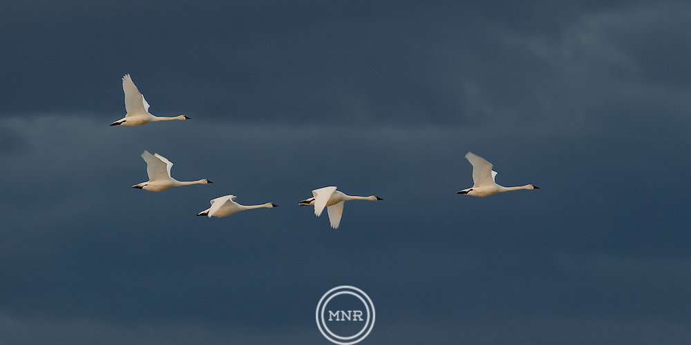 A group of five Tundra Swan flying north at Freezeout lake in Montana.