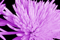 Purple flower dew drops macro black background