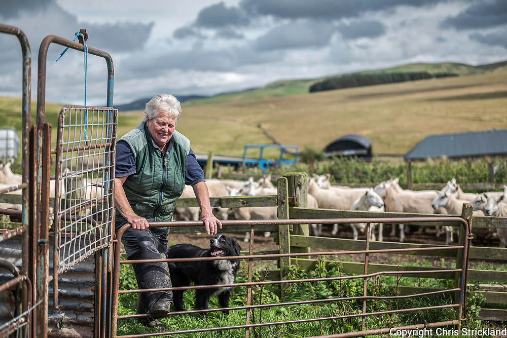 Camptown, Jedburgh, Scottish Borders, UK. 28th August 2019. A mixed flock of Cheviot and Black Face sheep are spained (weaned) on Middlesknowes hill farm near the Anglo Scottish Border. The process also allows shepherds to dose for parasites such as worms and add minerals that are deficient in the terrain.