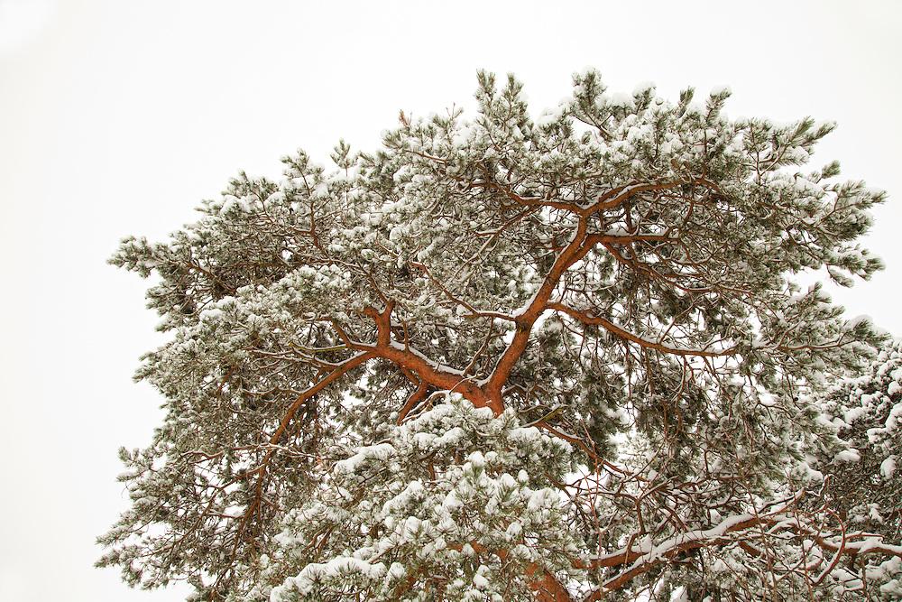 Scots pine tree (pinus sylvestris) with snow, Livradois-Forez Regional Natural Park, Auvergne, France