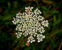 Queen Anne's Lace Flower. Image taken with a Nikon D300 camera and 80-400 VR lens (ISO 400, 300 mm, f/5.6, 1/160 sec). Raw image processed with Capture One Pro, Focus Magic, and Photoshop CC.