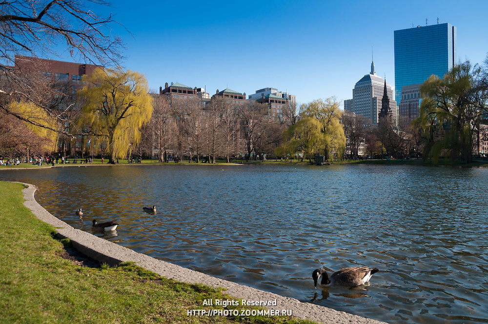 Ducks swimming in lagoon of Public Garden with Boston skyline and Hancock Tower behind