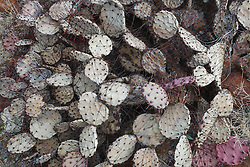 Cactus, Big Bend National Park, Texas, USA.
