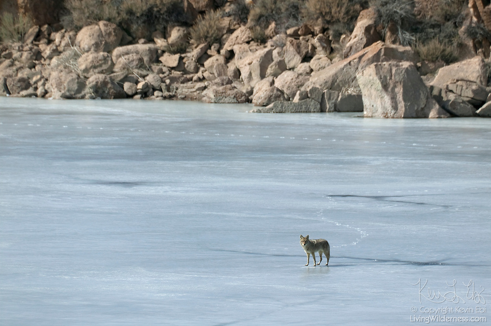 A coyote (Canis latrans) walks out onto the frozen Crowley Lake near Mammoth Lakes, California.