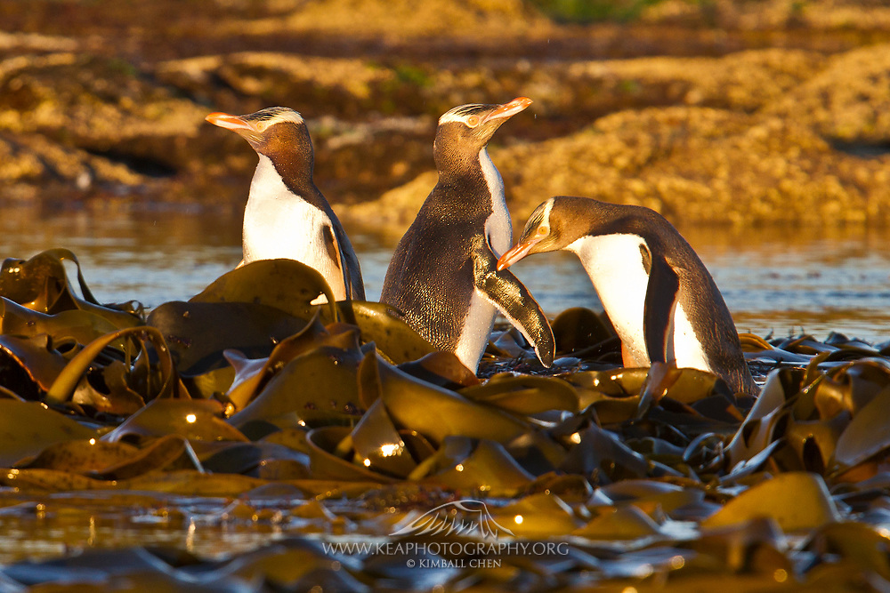 Just after sunrise, the golden hour illuminates the coastal petrified forest at Curio Bay, as a group of endangered yellow-eyed penguins bask amongst the kelp, before heading out to the ocean for food.