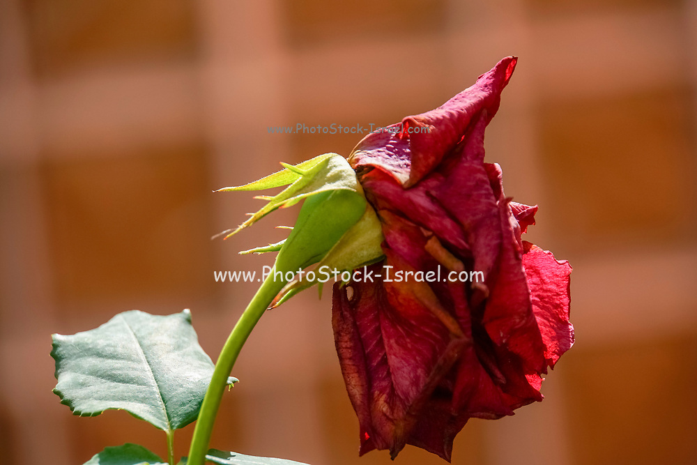 rose bush with Wilted dying red garden rose