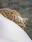 bobcat Bobcat (Lynx rufus) in winter habitat