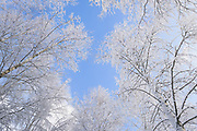 Blue sky and snow covered tops of birch trees (Betula sp.) on snowy winter day, Vidzeme, Latvia Ⓒ Davis Ulands | davisulands.com