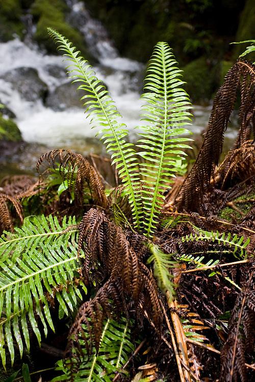 Fern in Daintree rainforest, Queensland, Australia