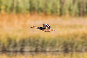 A female mallard duck (Anas platyrhynchos) flies over the Edmonds Marsh, Edmonds, Washington.