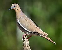 White-winged Dove(Zenaida asiatica). Campos Viejos, Texas. Image taken with a Nikon D4 camera and 600 mm f/4 VR lens