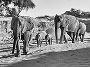 A breeding herd of desert elephants (Loxodonta africana cyclotis) walking through the sandy Hoanib river bed, black and white, Skeleton Coast, Namibia