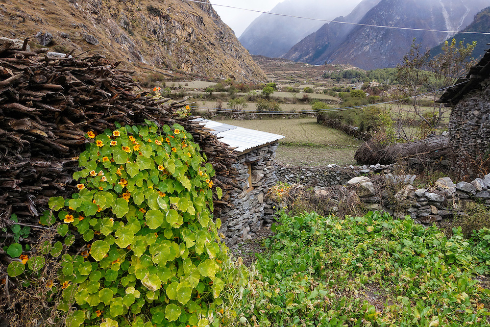 Nasturtium growing next to a pile of wood in a village in the Tsum Valley of Nepal.