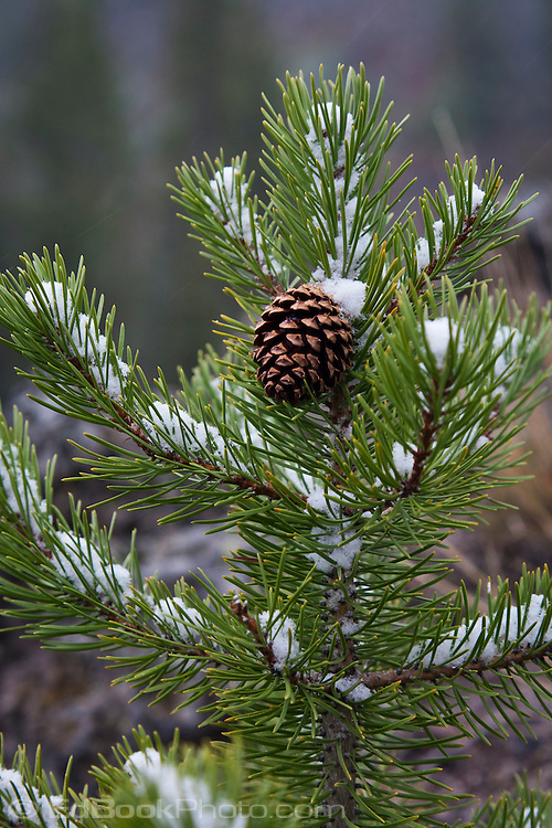 a small Lodgepole Pine (Pinus contorta latifolia) wears an early autumn snowfall with one pinecone in Yellowstone National Park, Wyoming, USA