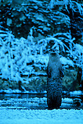 River otters on ice-covered Yaak River at dusk in fall. Yaak Valley in the Purcell Mountasin, northwest Montana.