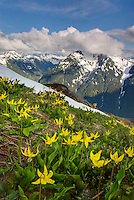 Glacier Lilies (Erythronium grandiflorum) blooming on meadowed slopes of Goat Mountain, Mount Baker Wilderness Washington USA
