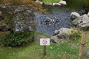Despite a sign telling visitors not to, Koi Carp feed in a frenzy in the waters of the Kyoto Garden, in Holland Park, on 28th June 2020, in London, England.