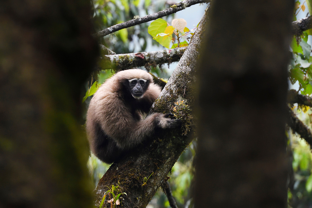 female Skywalker gibbon monkey, Hoolock tianxing, sitting in a tree at Tongbiguan nature reserve, Dehong prefecture, Yunnan province, China