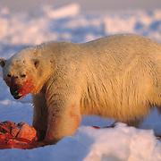 Polar Bear (Ursus maritimus) adult feeding on a baby walrus carcass. Nunavut Territory, Canada