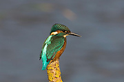 Kingfisher, Alcedo atthis, Stodmarsh National Nature Reserve, Kent, adult, male, perching, colourful