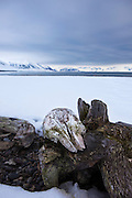 """Whale skull, possibly a beluga, on a piece of driftwood, near Mushamna trapping station, Woodfjorden, Svalbard.<br /> <br /> This mage can be licensed via Millennium Images. Contact me for more details, or email mail@milim.com For gigclée prints, contact me, or click """"add to cart"""" to some standard print options."""