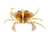 flying crab<br /> Liocarcinus holsatus<br /> juvenile