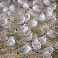 As sunset approaches, this flock of willets looks for food near the shoreline. JN Ding Darling National Wildlife Refuge, Sanibel Island, Florida