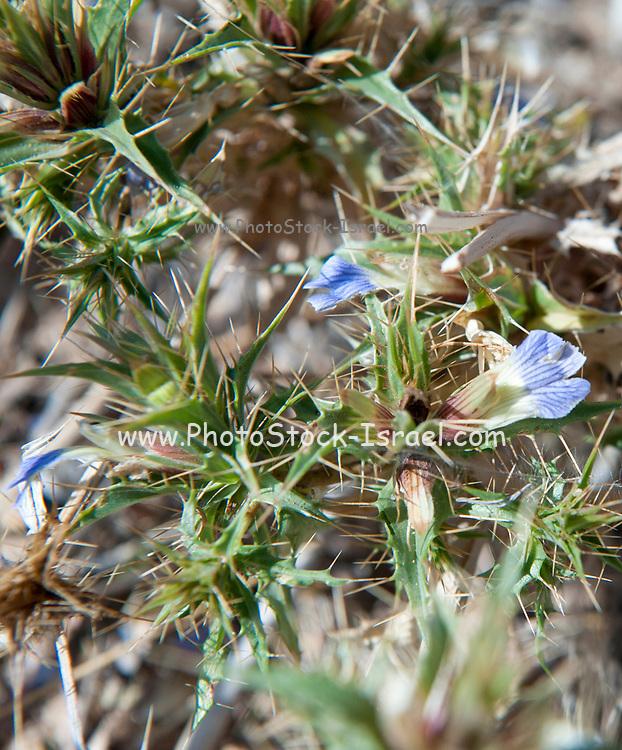 Flower blue desert plant Cape Cross, Namibia
