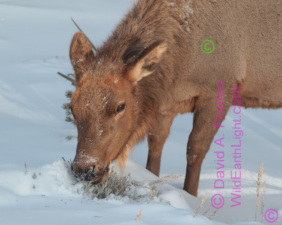Cow elk samples low plant it has found in fresh snow, Grand Canyon National Park, © David A. Ponton
