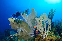 Gorgonia sp., Karibisches Korallenriff und Taucher mit Gorgonie, Caribbean Coralreef and scuba diver with Gorgonia, Insel Cooper, Britische Jungferninsel, Karibik, Karibisches Meer, Cooper Island, British Virgin Islands, BVI, Caribbean Sea