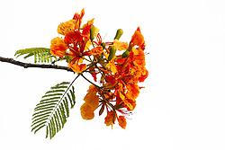 Royal Poinciana Tree Delonix Regia #25