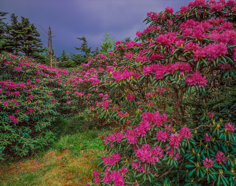 Catawba rhododendrons on hillside, Roan Mountain Gardens, Pisgah National Forest, NC