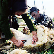 Elderly Romanian peasant farmers hand shear a sheep, Botiza, Maramures, Romania. Traditionally subsistence farmers in Maramures raise their own sheep to provide wool for knitting and weaving clothing.
